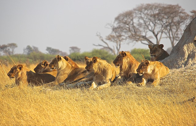 Winners hunt in packs: drawing business lessons from the big cats
